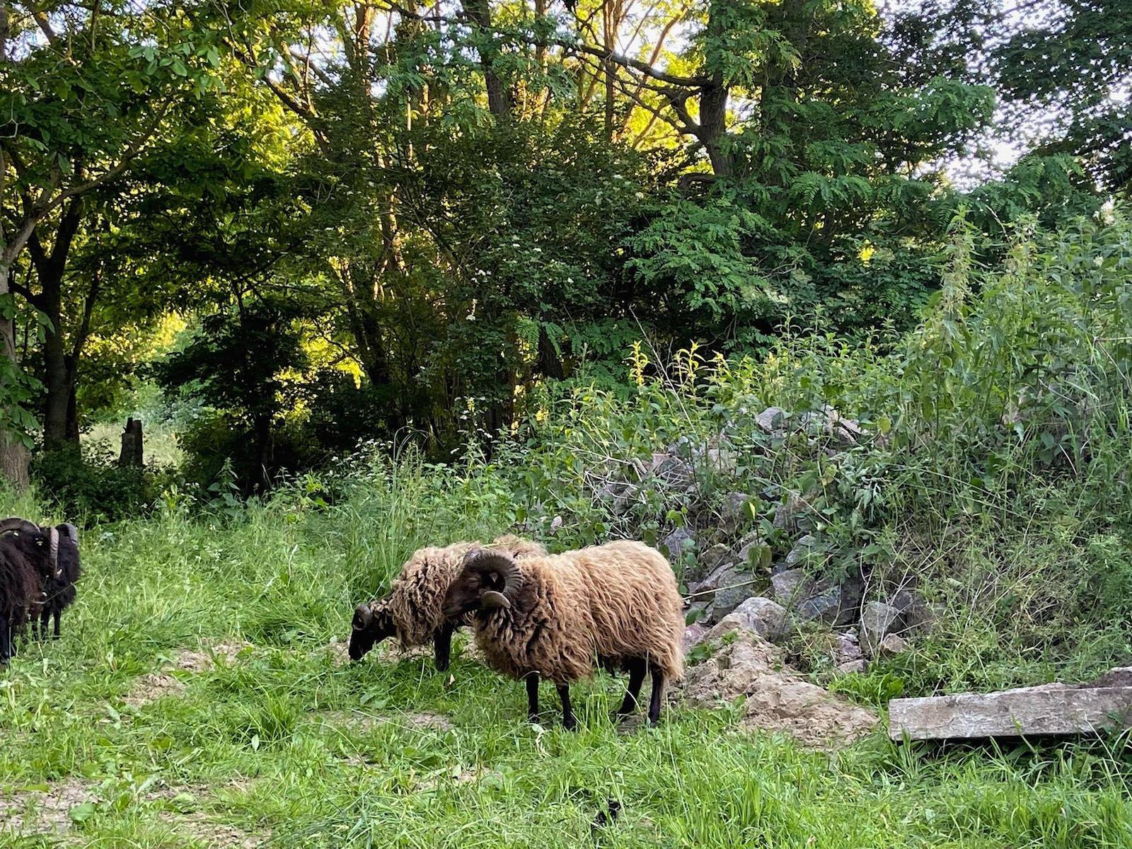 Schafe Gut Pohnstorf
